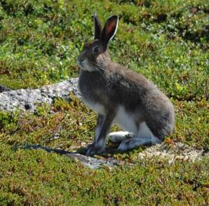 Hare Foto Jan E. Thorstein