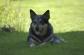 Kela - Australsk Cattledog  foto: Ellinor Dalen Thorstein