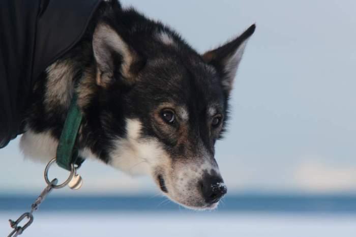 Svalbard_ill_hund Foto Elin M. Lien Sysselmannen på Svalbard
