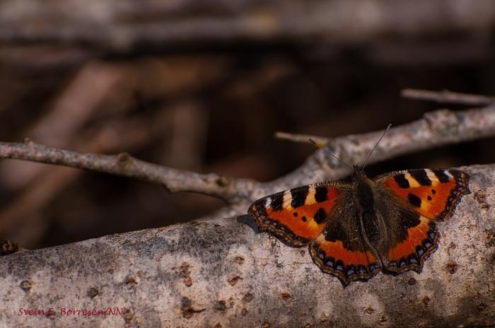 Neslesommerfugl 3
