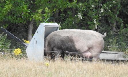 Økologisk svin _ DSCN3223